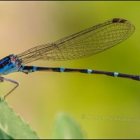A small but colorful damselfly