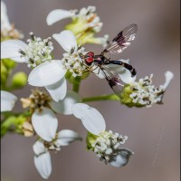 Hover fly on frostweed flowers