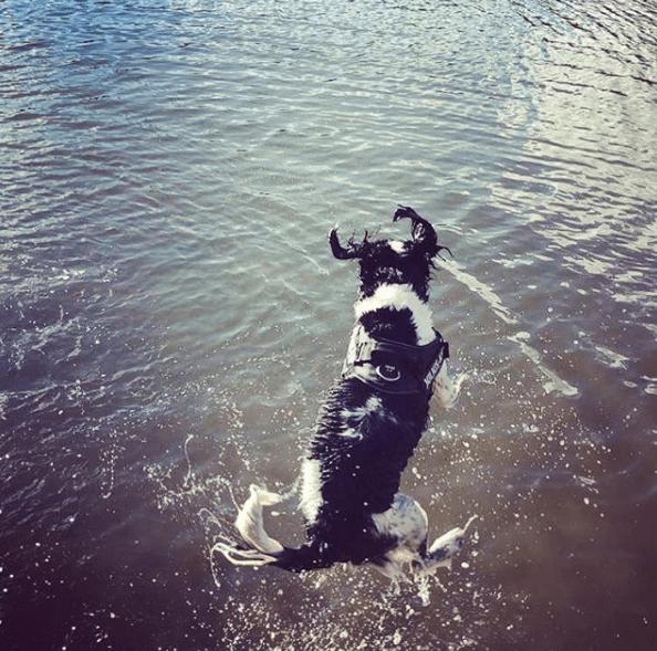 PortsmouthLOVE Pup springer spaniel ringo