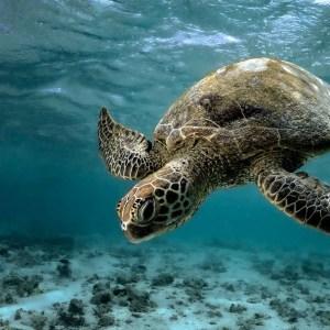 Green sea turtle lady elliot island