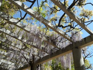 Sitting under the wisteria at the tea house
