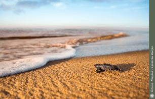 Filhote de tartaruga marinha indo ao encontro da água, na praia de Regência-ES.