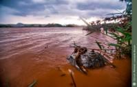 Marreco Pé-vermelho, morto após a chegada da lama. Tumiritinga-MG.