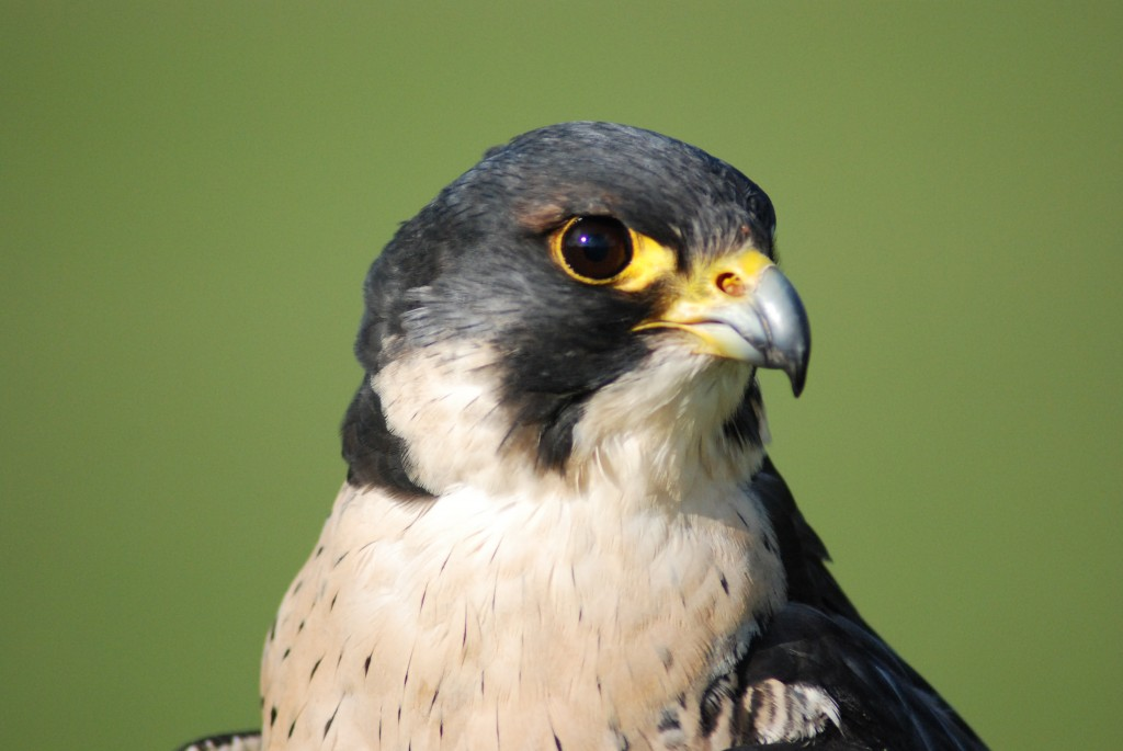 Adult peregrine falcon (Helen Hall Avon Gorge & Downs Wildlife Project)