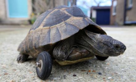 Tortoise given WHEELS after his front legs are gnawed off by rats while hibernating underground in owner's garden