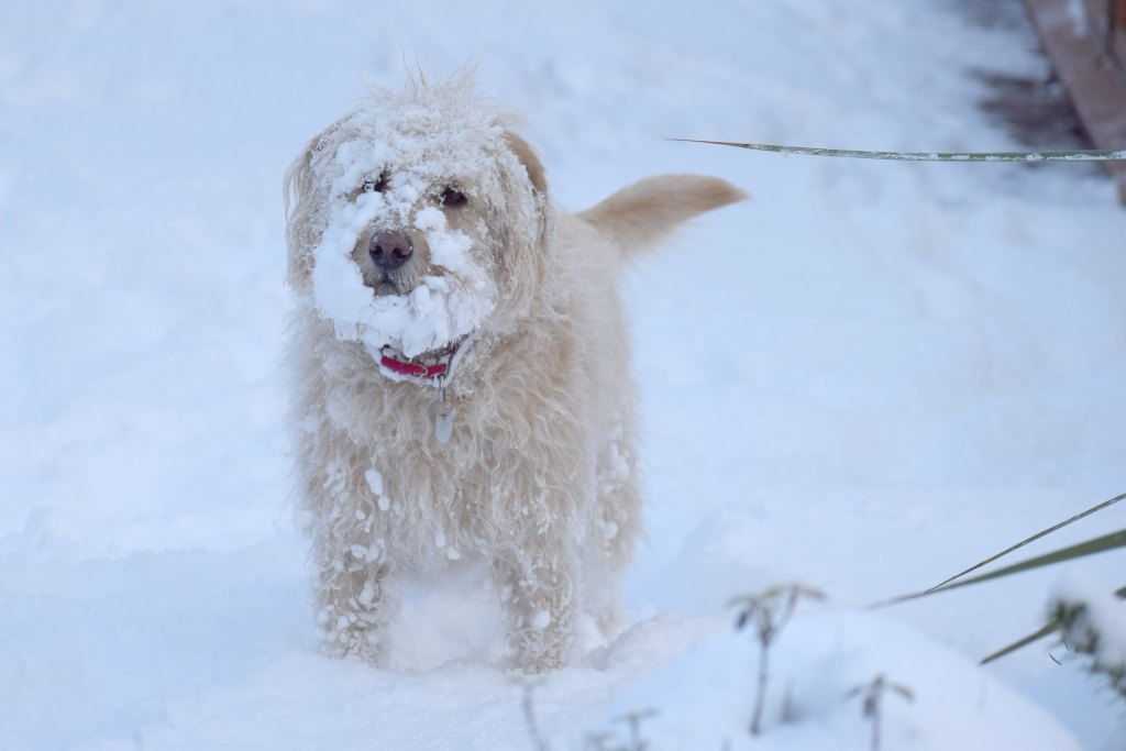 A dog with its muzzle covered in snow