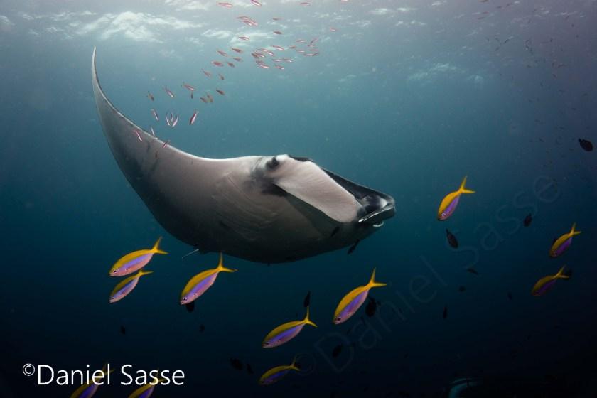SAUVEZ les mers Manta Ray