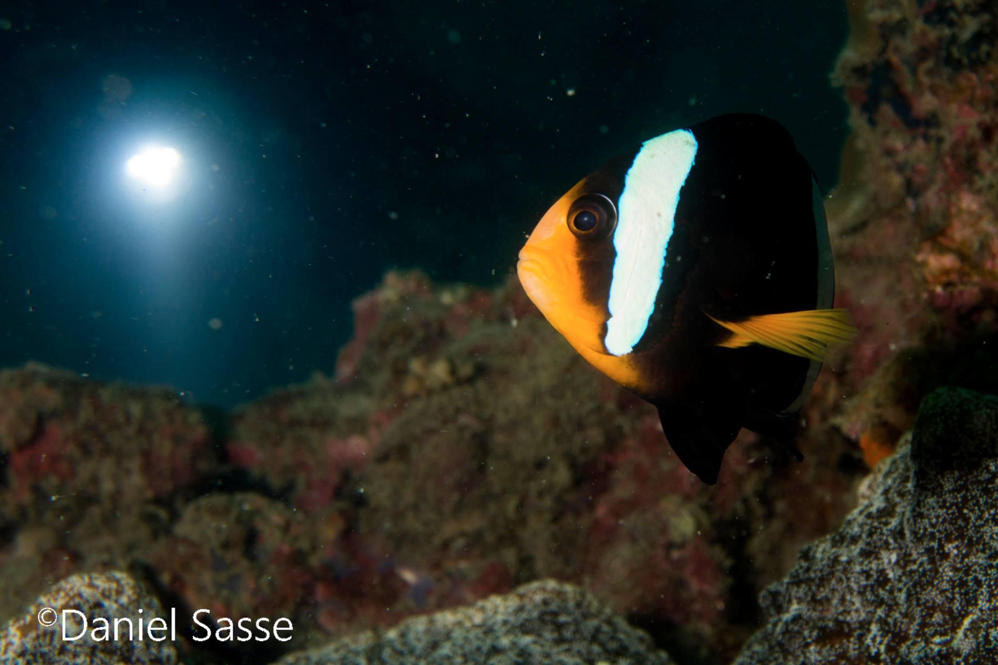 Nightdive Clarks Anemone fish