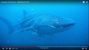 Whaleshark sighting