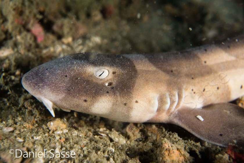 Tauchgang an den Lokalen Inseln Ao Nang Brownbanded-Bamboo-shark-small