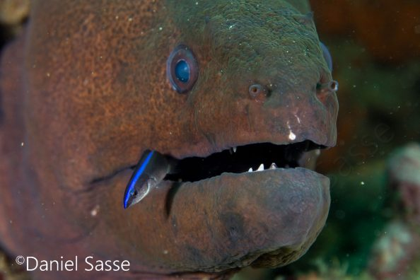 Giant Moray and Cleaner Wrasse