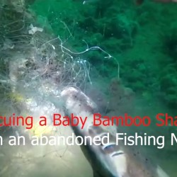 Baby Bamboo shark rescue