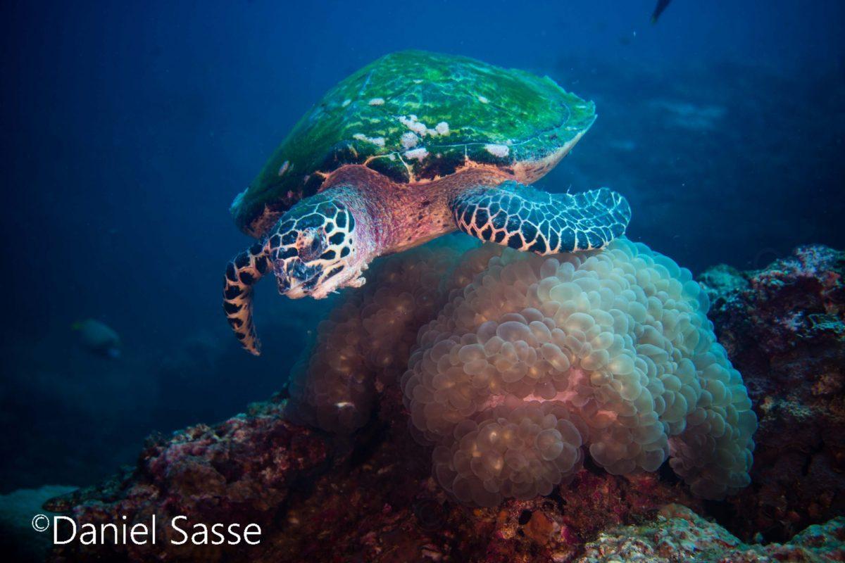 Hawksbill Turtle World Sea Turtle Day 2021