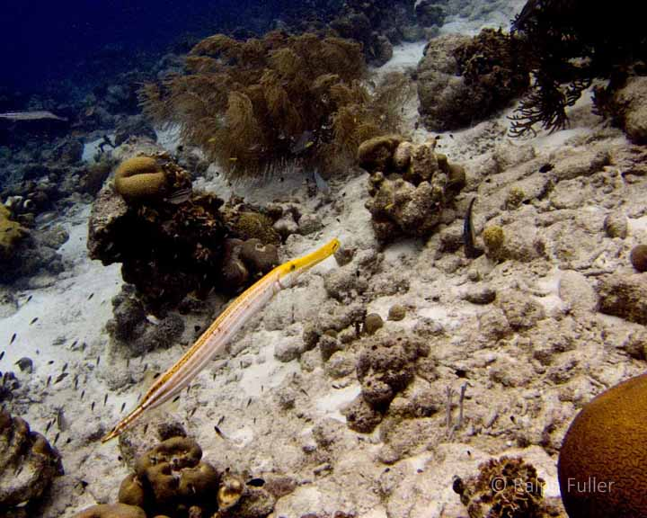 yellow trumpetfish