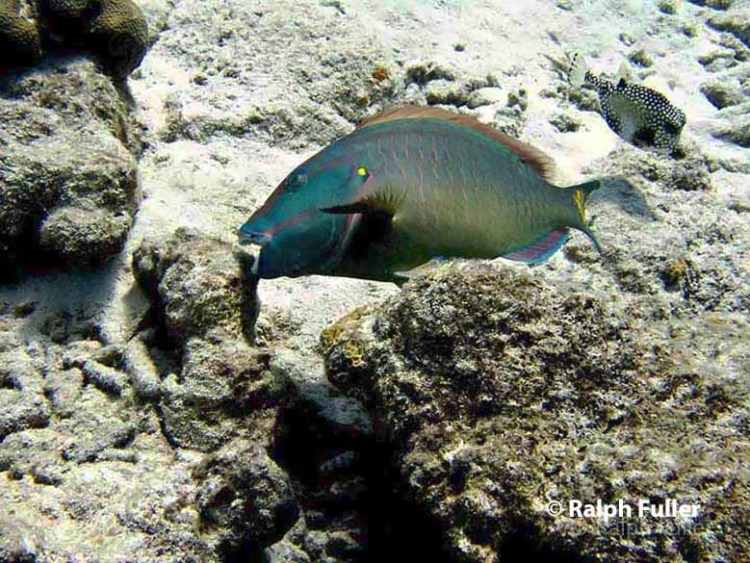 A parrotfish beak contains 1,000 teeth with incredible strength