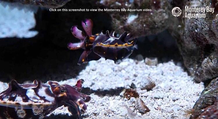 how cuttlefish hunt