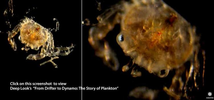 define plankton