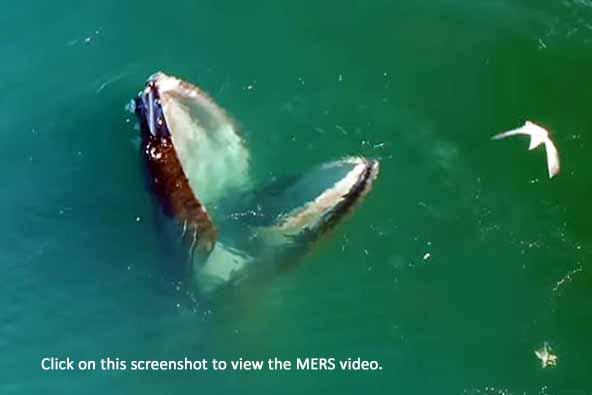 humpbacks let seabirds bring the prey