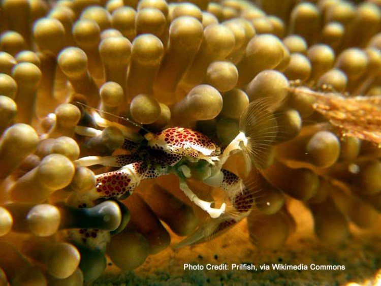 porcelain crabs sweep for plankton