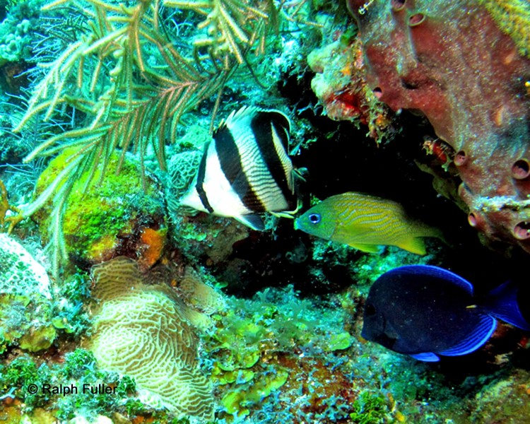 Osteichthyes - bony fishes