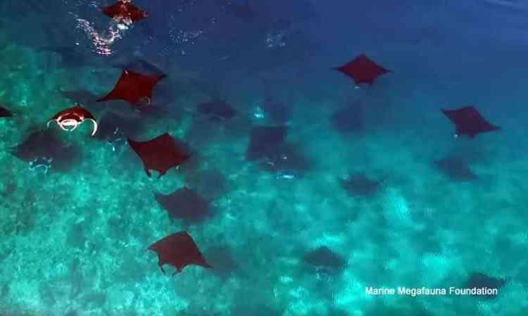 manta ray socializing