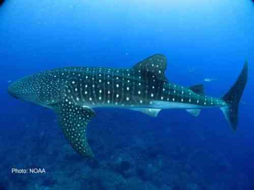 Some fish breathe via obligate ram ventilation, including whale sharks