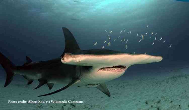 Endangered great hammerhead shark