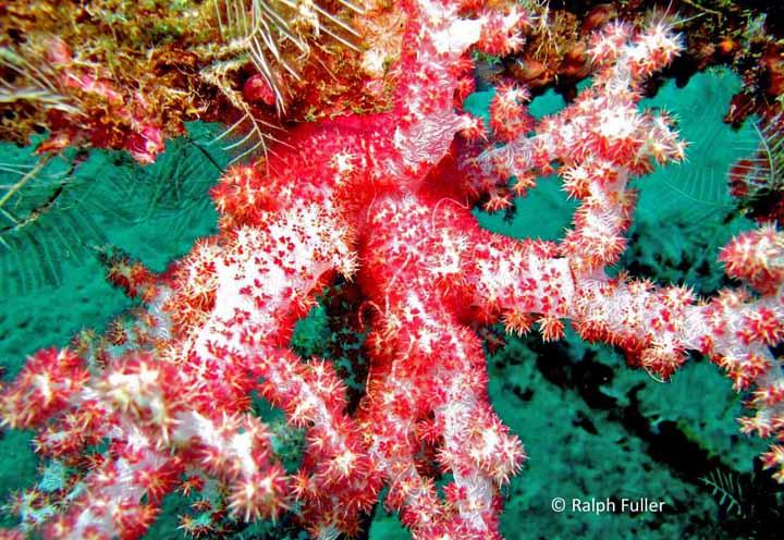 true soft coral genus Dendronephthia