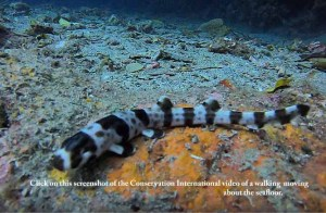 leopard epaulette shark (Hemiscyllium michaeli)