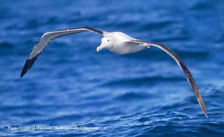 wandering-albatross-Diomedea-exulans