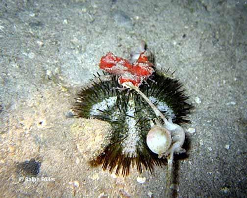 sponge-varigated- sea urchin