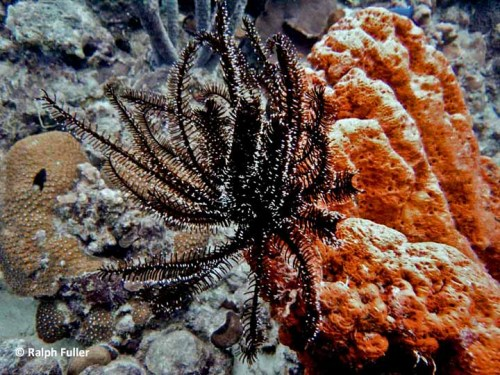feather-star-crinoids