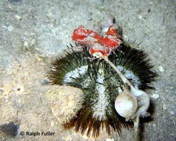Varigated Urchin (Lytechninus varigatus)