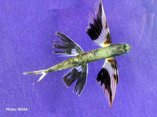 Cheilopogon exsiliens