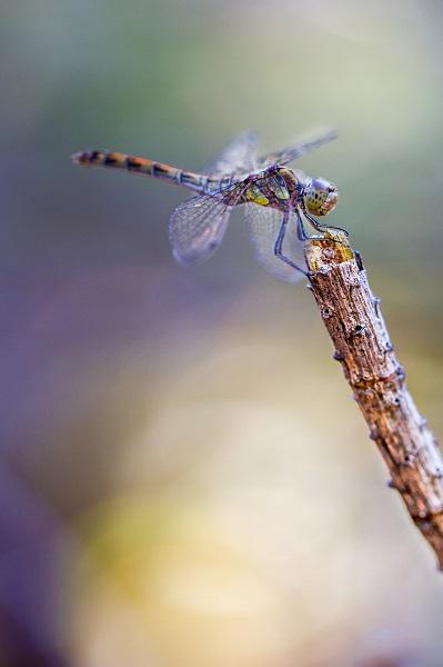 Macrophotographie d'une libellule