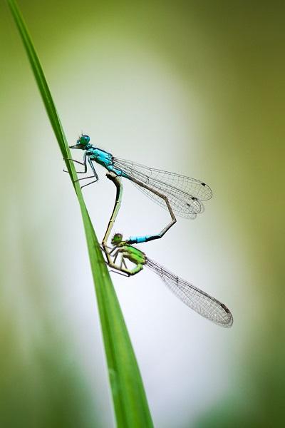 Macrophotographie d'un accouplement de libellules