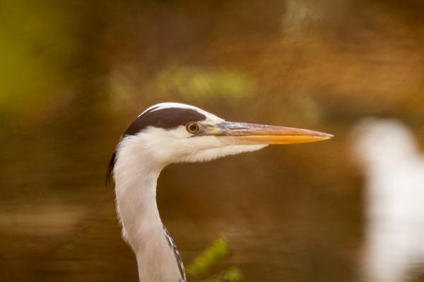 portrait heron