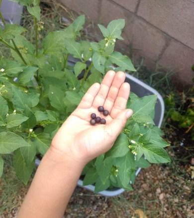 Child plucking berries from backyard