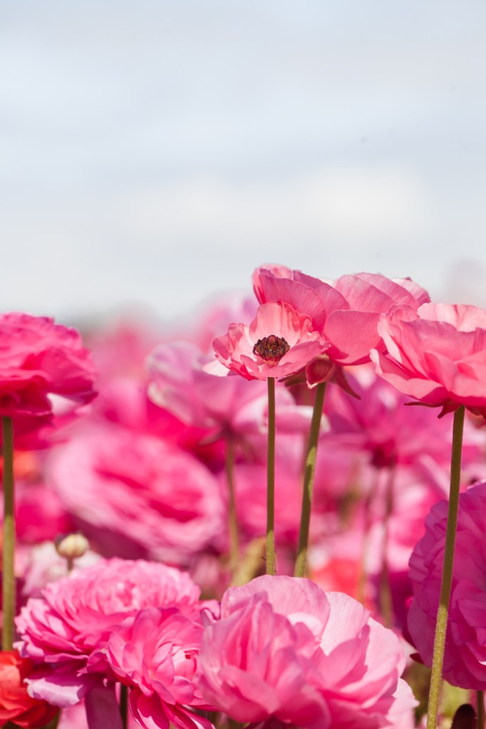 Visiting the flower fields in Carlsbad California-Travel-San-Diego-Ranunculus