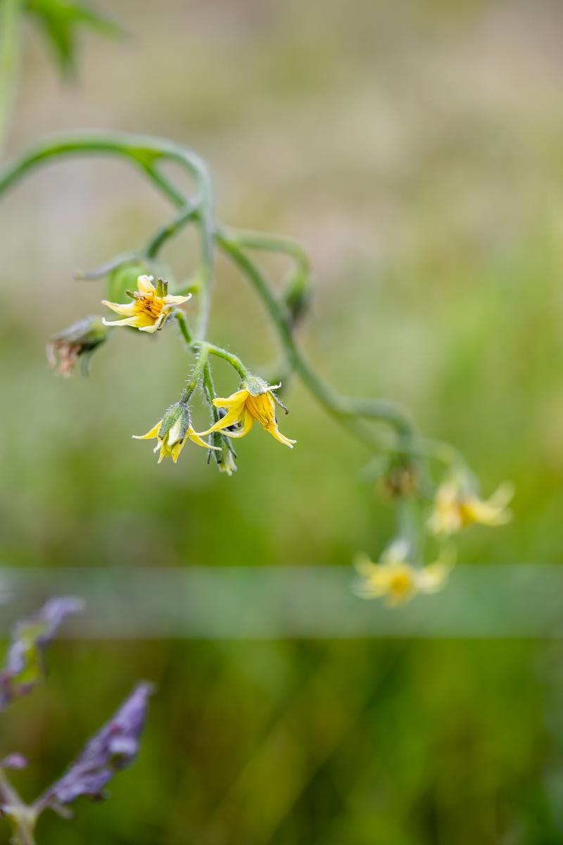 summer_veggie_garden_gardening_vegetables_nasturtium_squash_peas