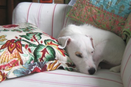 just-try-to-keep-a-jack-russell-off-the-sofa
