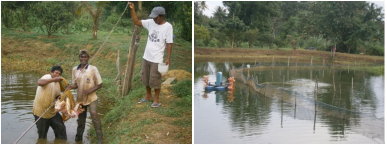 Harvesting mature pink Talipia in the fish ponds that can hold and raise more than 5,000 fishes