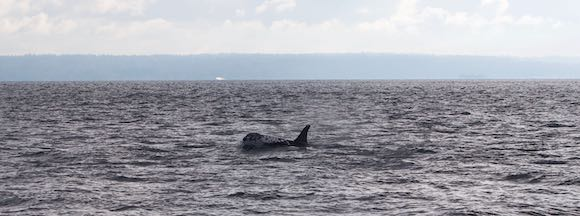 One of more than a dozen Orcas seen on the author's voyage (Photo by the author)