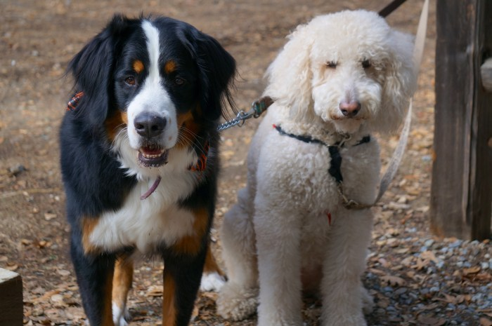 Bernese Mountain Dog and Goldendoodle