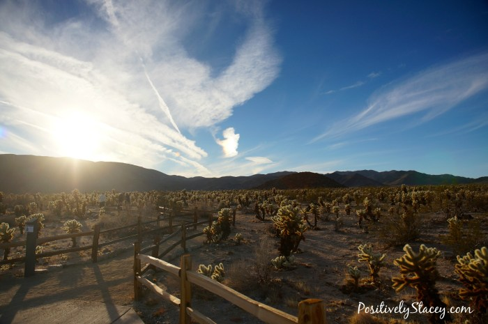 Joshua Tree National Park Cholla Cactus Field