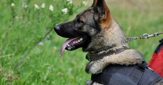 Valence: Mia, cão policial, receberá uma medalha como recompensa por sua coragem
