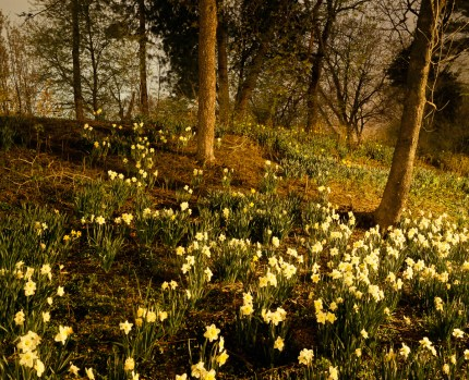 Daffodils No. 2 (2004)