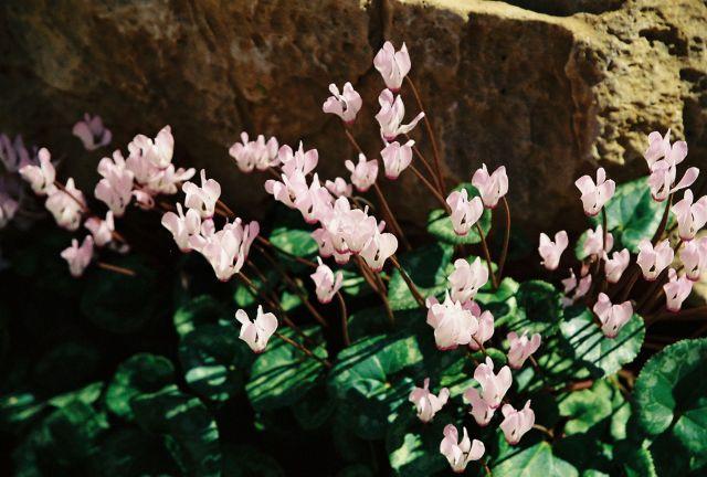 Flowers-Israel