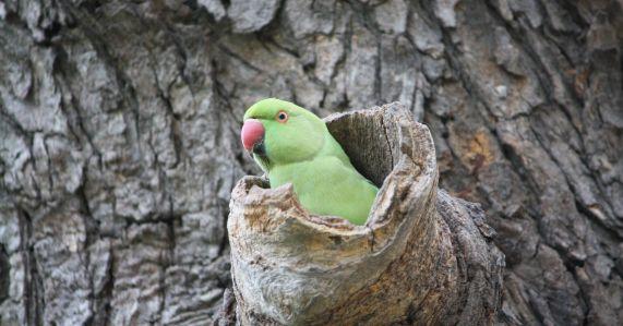 Parakeet in