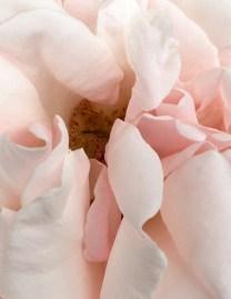 Rose-White-pink - 1